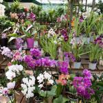 Ma belle Orchidée